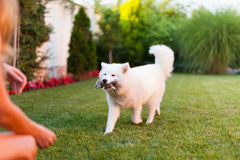 Lady playing with her dog. Woman playing with her samoyed dog on the grass Stock Images