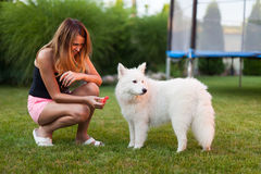 Lady playing with her dog. Woman playing with her samoyed dog on the grass Royalty Free Stock Photos