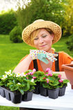 Young woman planting flower seedlings, gardening in spring, planting begonia flowers in pot, smiling woman working in garden Royalty Free Stock Image