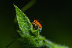 The lady is resting. Night macro/closeup shot of a ladybird beetle Royalty Free Stock Photo