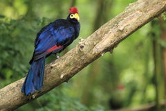 Lady Ross turaco Royalty Free Stock Image