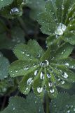 Lady's mantle. Hairy alchemilla mollis leaves with glistening rain drops, vertical orientation stock image