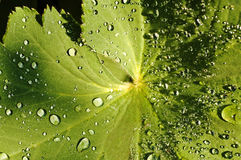 Lady`s mantle. With magic drops Royalty Free Stock Image