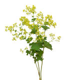 Lady's mantle Royalty Free Stock Photos