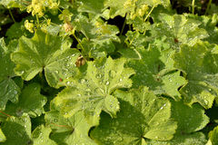 Lady's mantle (Alchemilla vulgaris) Royalty Free Stock Images