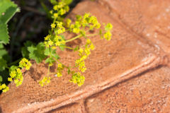 Lady's mantle (Alchemilla vulgaris) Royalty Free Stock Photos