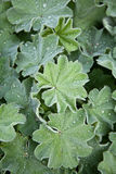 Lady's Mantle (Alchemilla vulgaris) Royalty Free Stock Image