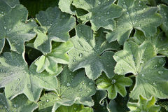 Lady's Mantle (Alchemilla vulgaris) Stock Image