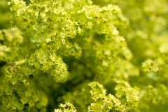 Lady's mantle in bloom. Flowers of a blossoming lady's mantle Stock Photography