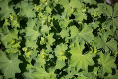 Lady's mantle in the Botanical Garden. Green Background, health deicine Royalty Free Stock Images