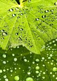Lady`s mantle with dew drops Stock Image