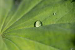 Lady's mantle with drops of water Stock Images