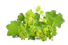 Lady's Mantle. In flowering  isolated on white background Royalty Free Stock Photo
