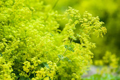Lady's mantle flowers. Lady's mantal flowering in a herbaceous border Stock Photos