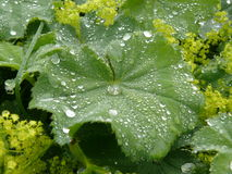 Lady's mantle leaf Stock Image