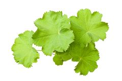 Lady's Mantle. Leaves  isolated on white Stock Photos