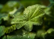 Lady`s mantle Stock Photography