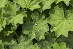 Lady's Mantle With Water Drops Stock Images