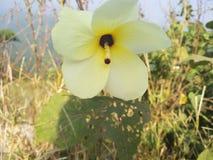 Lady& x27; s palca kwiat Zdjęcie Royalty Free