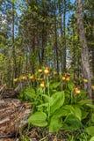 Lady& x27; s-pantoffel orchidee & x28; Cypripedium calceolus& x29; stock afbeeldingen