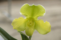 Lady& x27; s pantoflowa orchidea & x28; Paphiopedilum Callosum & x29; w ogródzie Fotografia Stock