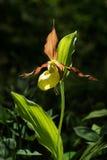 Lady& x27; s Pantoflowej orchidei kwiat Kolor żółty z czerwonymi płatkami kwitnie kwiatu w naturalnym środowisku Dama kapcia okwi Zdjęcie Stock