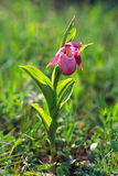 Lady S Slipper Stock Image