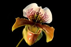 Lady's-slipper Stock Images