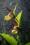 Lady's Slipper Orchid bloom in pouring rain like snowing. Blossom and water drops. Yellow with red petals blooming Stock Photos