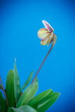 Lady's slipper orchid Royalty Free Stock Images
