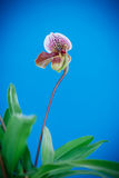 Lady's slipper orchid Stock Images