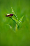 Lady`s Slipper Orchid, Cypripedium calceolus, flowering European terrestrial wild orchid in nature habitat. Beautiful detail of bl. Oom royalty free stock image