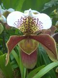 Lady`s slipper orchid  Cypripedium calceolus Stock Image