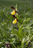 Lady's Slipper Stock Image