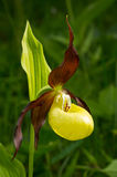 Lady's Slipper Orchid flower. Cypripedium calceolus. Yellow with red petals blooming flower in natural environment Royalty Free Stock Photography