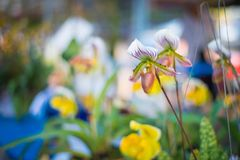 Lady`s Slipper orchid flower  Paphiopedilum  purple colour in. The garden Royalty Free Stock Photos