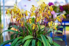 Lady`s Slipper orchid flower  Paphiopedilum  yellow colour in. The garden Royalty Free Stock Image