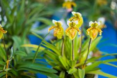 Lady`s Slipper orchid flower  Paphiopedilum  yellow colour in. The garden Stock Photo