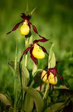 Lady`s slipper orchid flowers on blurred green background. Lady`s slipper orchid, Cypripedium calceolus, a rare endangered European plant, is pictured in the stock images