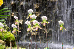 Lady's Slipper in orchid greenhouse Royalty Free Stock Image