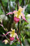Lady's slipper orchid Paphiopedilum. In botanical garden in Bali stock photography
