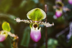 Lady's slipper orchid Stock Photography