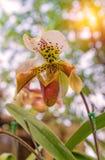 Lady's slipper orchid. (Paphiopedilum Callosum) Stock Image