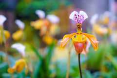 Lady's slipper orchid.( Paphiopedilum Callosum ) in the garden Stock Photography
