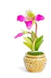Lady's slipper orchid. Paphiopedilum Callosum. Stock Image