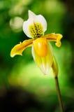 Lady's Slipper Orchid (Paphiopedilum). Close up of lady's slipper orchid (Paphiopedilum Exul Stock Photo