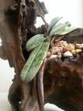 Ladys slipper  Paphiopedilum bellatulum Royalty Free Stock Image