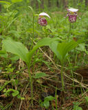 Lady's slippers. Two Siberian orchid in pine forest Stock Photos
