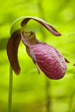 Lady's Slippers Royalty Free Stock Photography