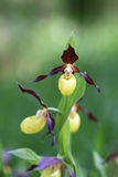 Lady's Slippers Royalty Free Stock Photo
